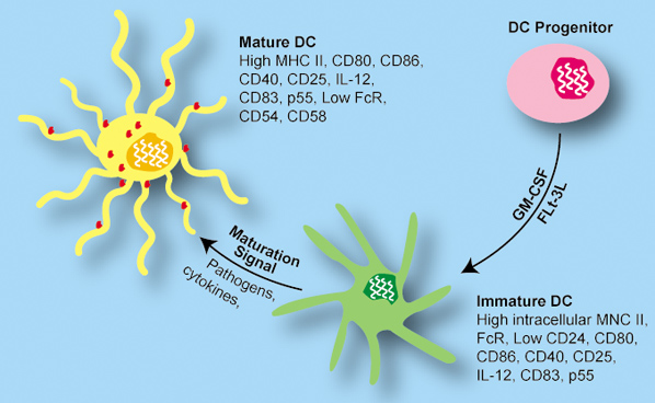 immature dendritic cells - photo #16